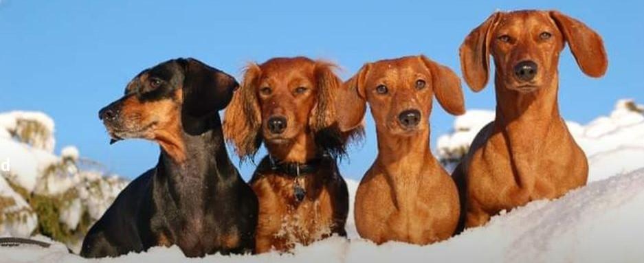 Rogaland dachshund klubb